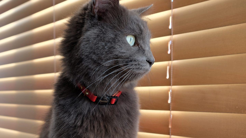 Meet Bellatrix, our fluffy grey cat